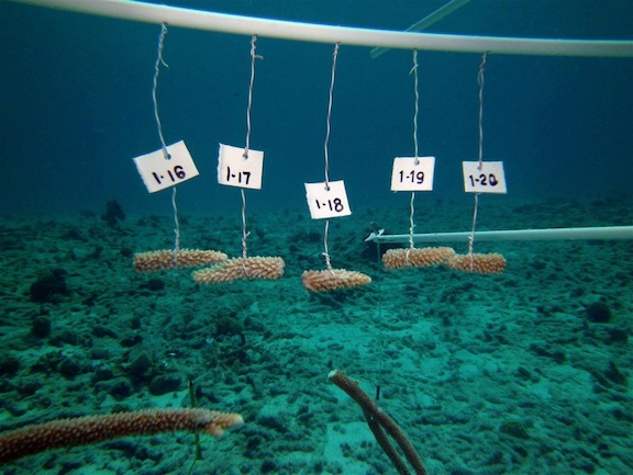 Above: the coral nursery at the Buddy Dive Resort in Bonaire (Photo ...