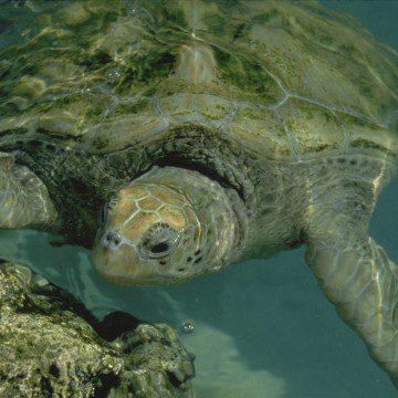 Above: a Caribbean sea turtle (Photo: Nancy Sefton)
